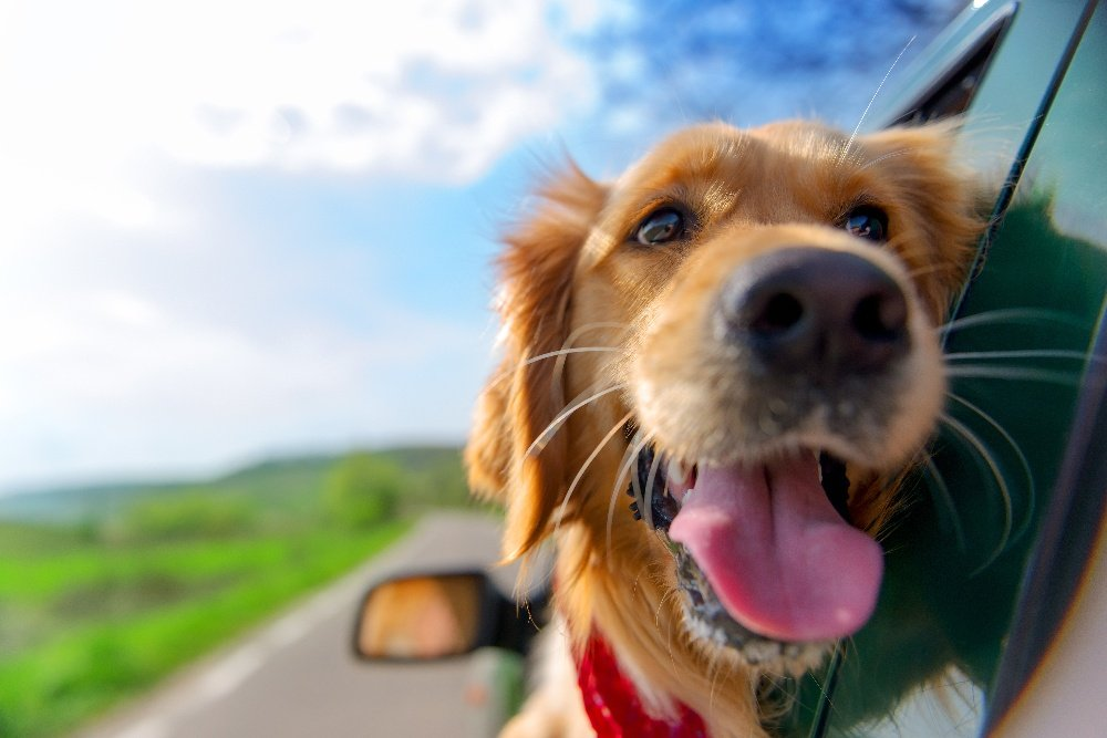 Do I Need to Restrain Pets in the Car?
